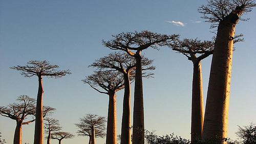 Monrondava y su mágico bosque de baobabs