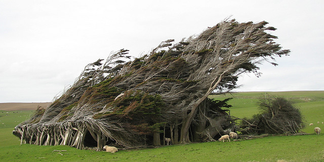 Los retorcidos árboles de Punta Slope