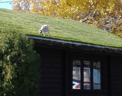 Al Johnson: Un restaurante con cabras en el tejado