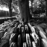 Gravestones around a tree (Hardy Tree), St Pancras Old Church, London