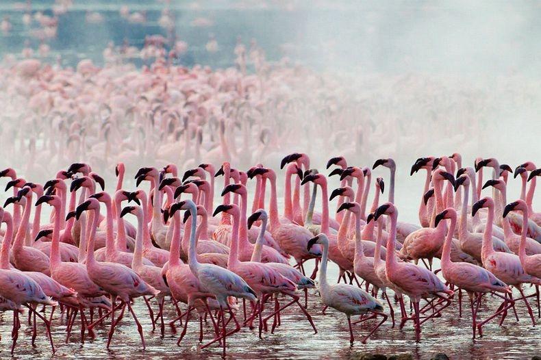 Flamencos Rosados Del Lago Nakuru