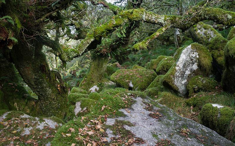 Wistman's Wood, Dartmoor