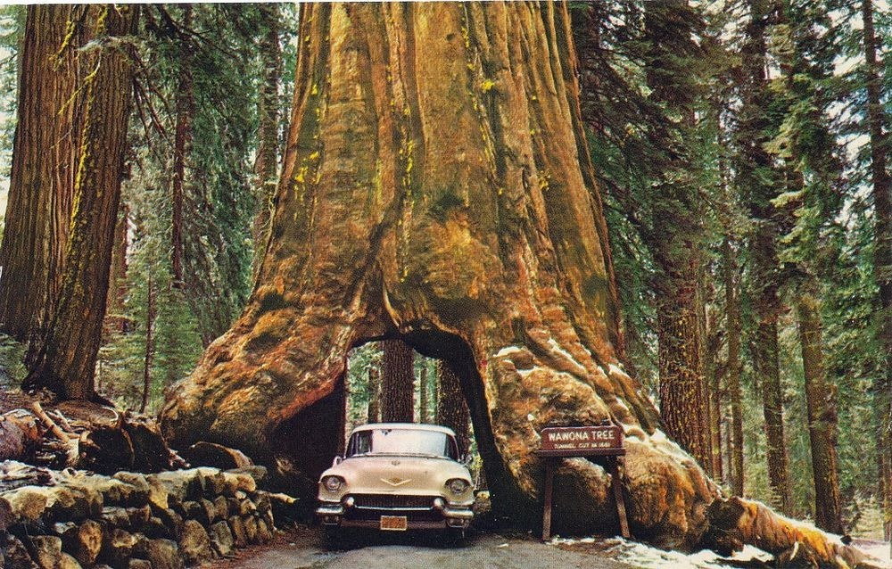 The Drive-Through Trees of California