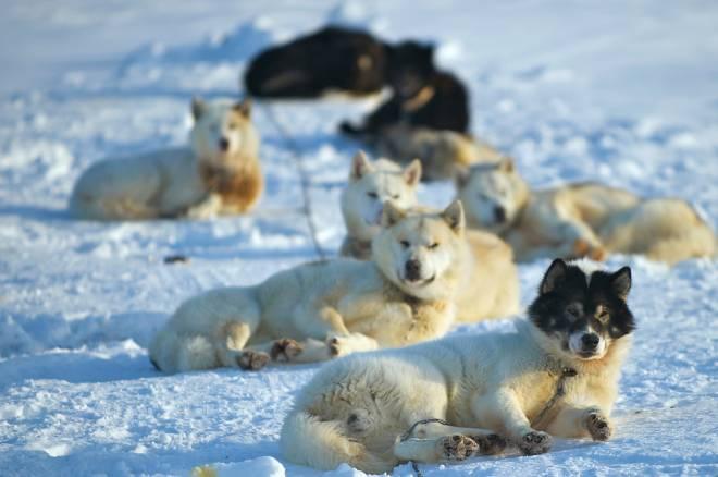 Perros de tiro daneses en Alert