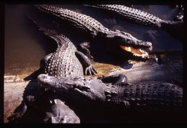 Beppu Crocodiles