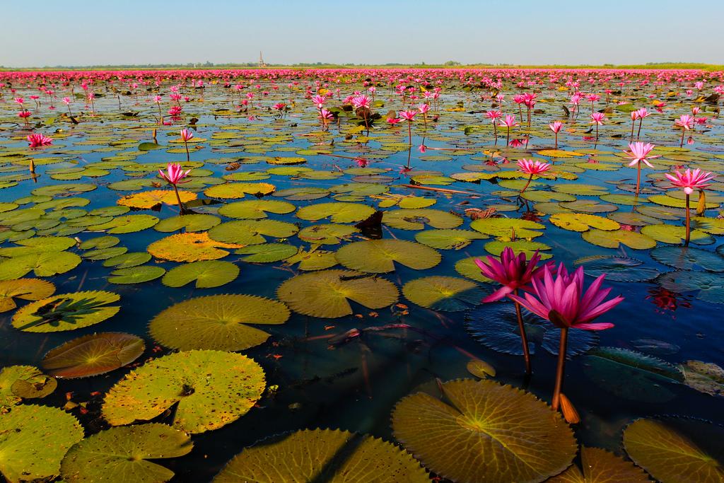 Lotus Sea