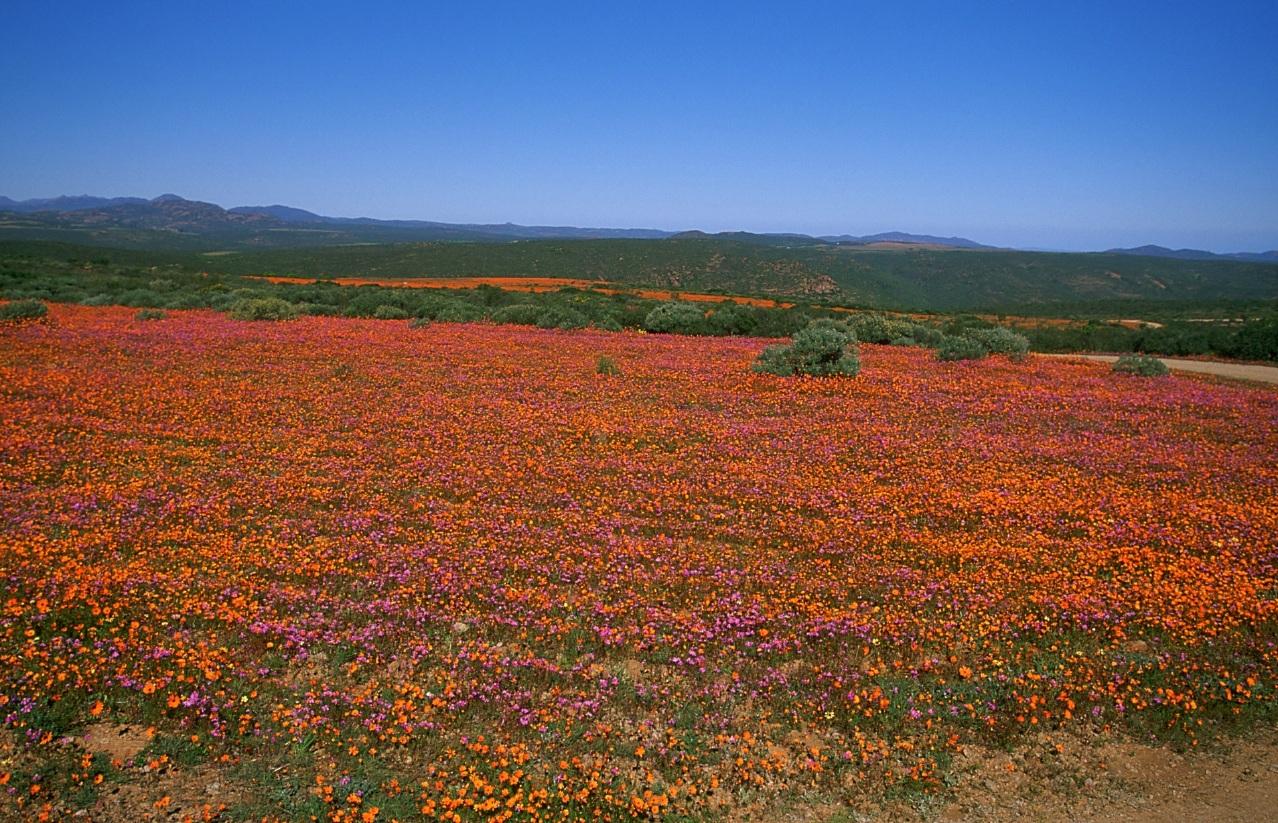 Namaqualand – Las impresionantes margaritas de Sudáfrica