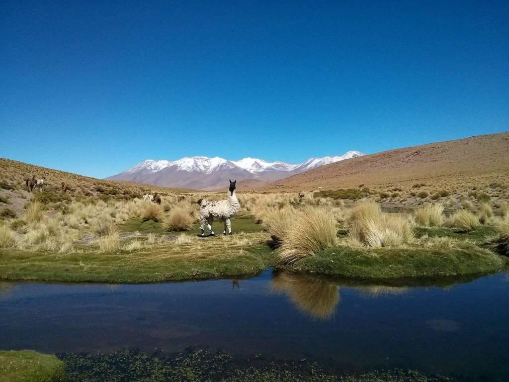 Viajar a Bolivia - Llama